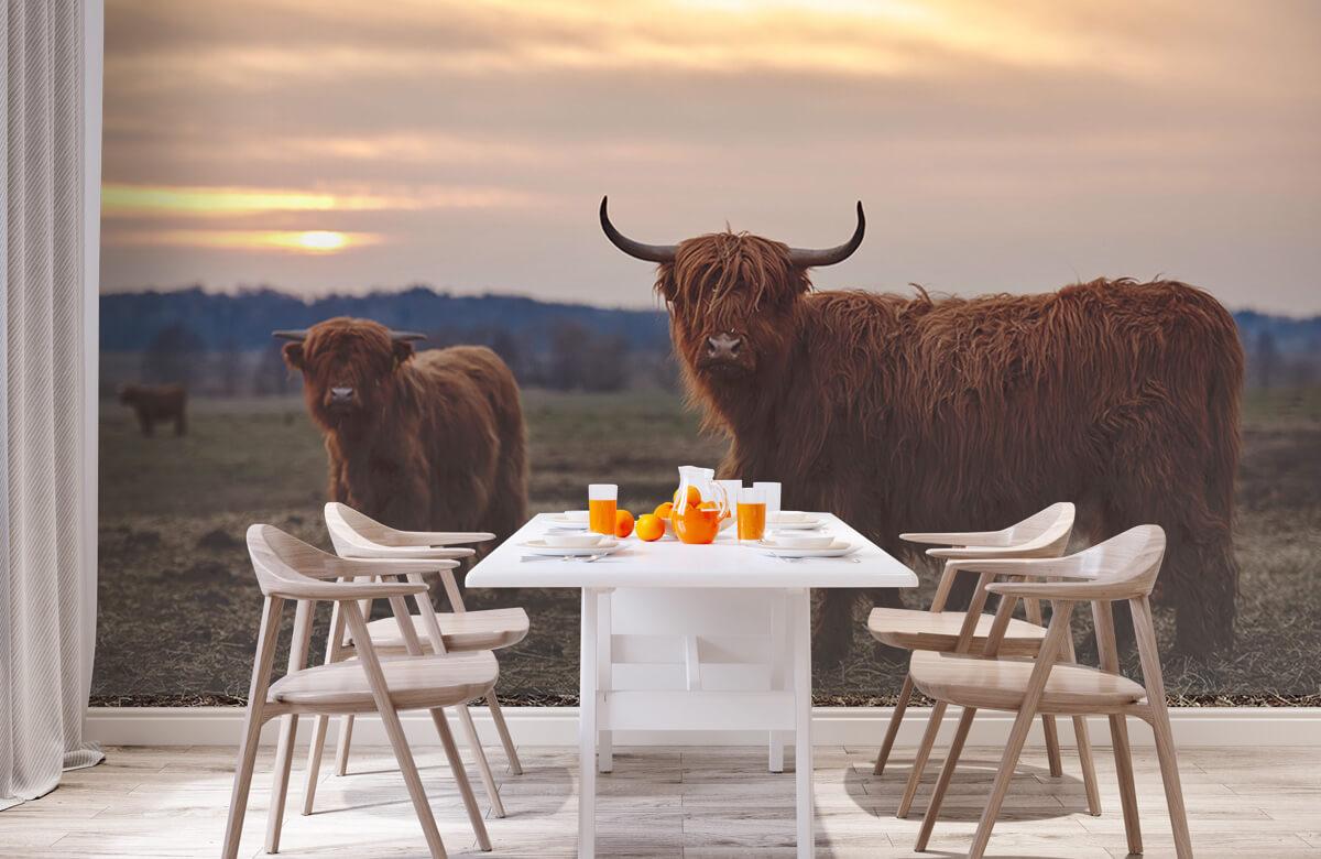 Dieren Schotse hooglanders in het weiland 2