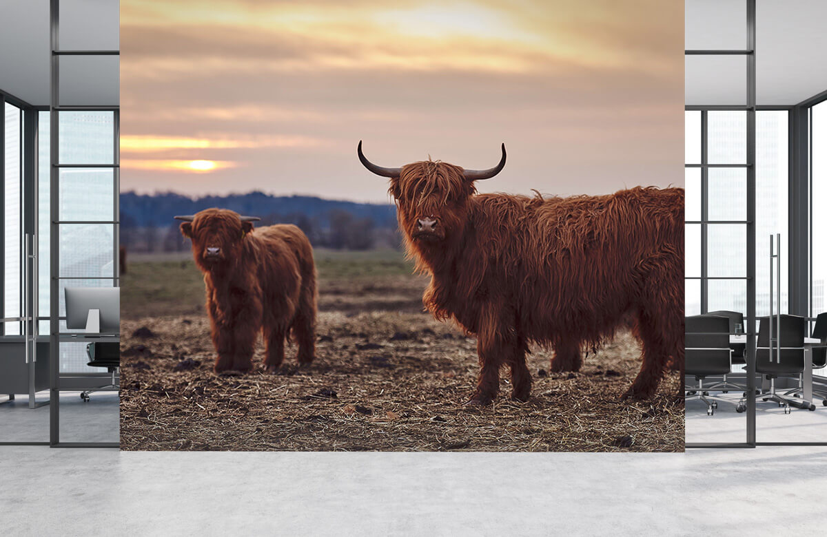 Dieren Schotse hooglanders in het weiland 1
