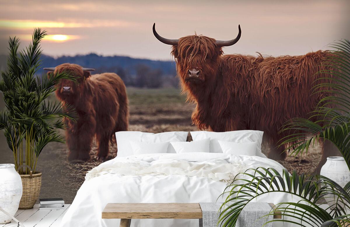 Dieren Schotse hooglanders in het weiland 6
