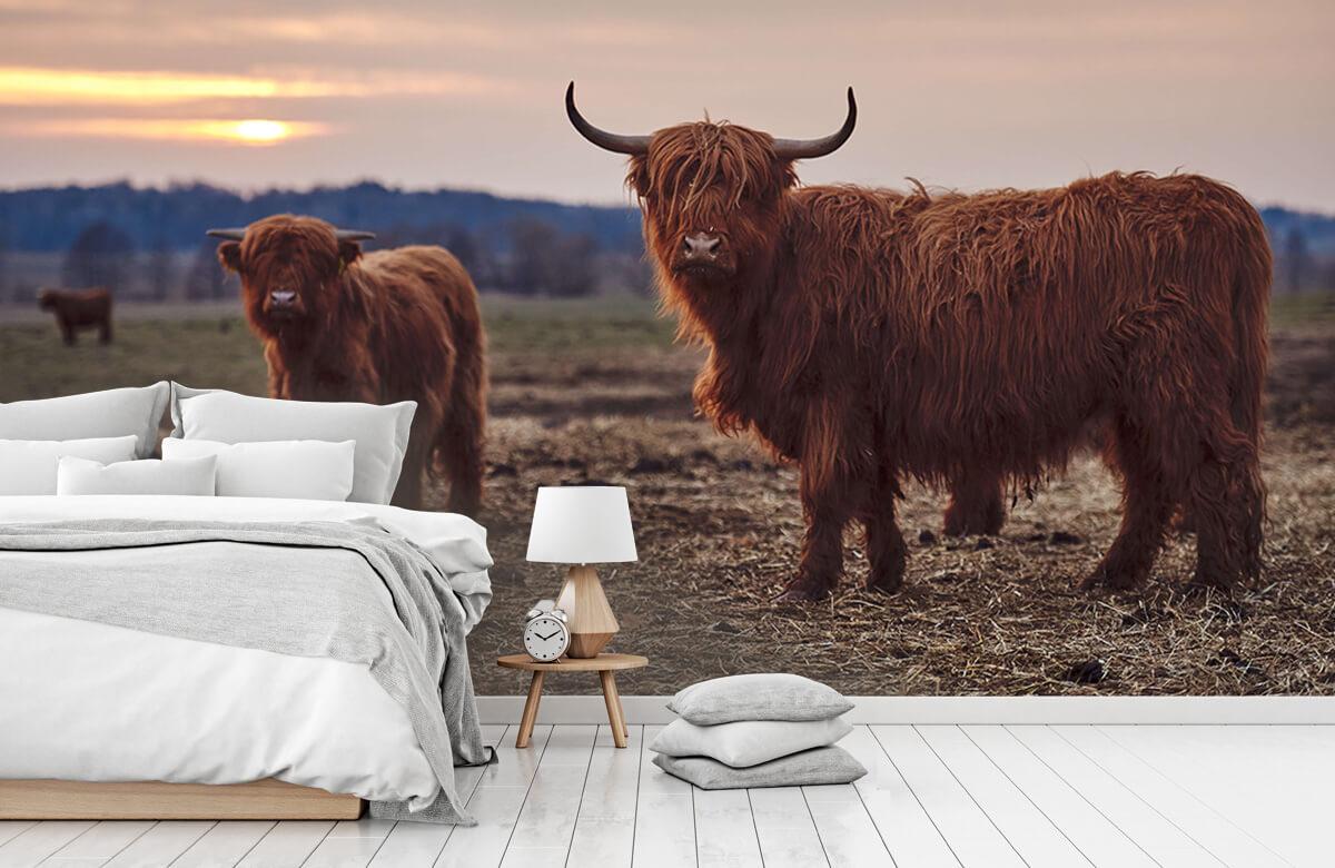 Dieren Schotse hooglanders in het weiland 7
