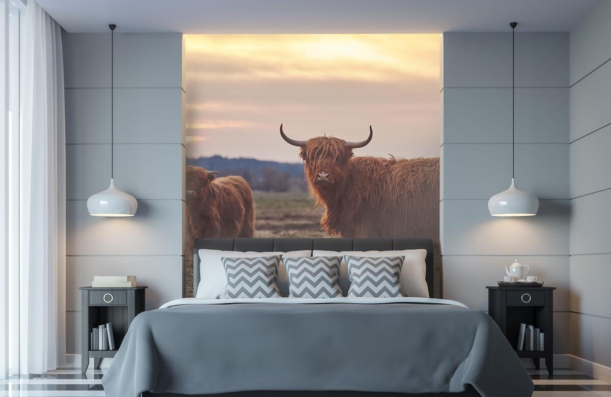 Dieren Schotse hooglanders in het weiland 8