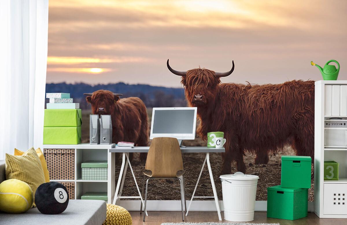 Dieren Schotse hooglanders in het weiland 9