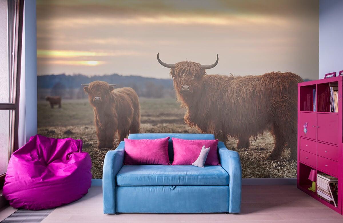 Dieren Schotse hooglanders in het weiland 10