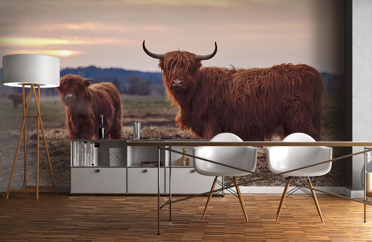 Dieren Schotse hooglanders in het weiland 11