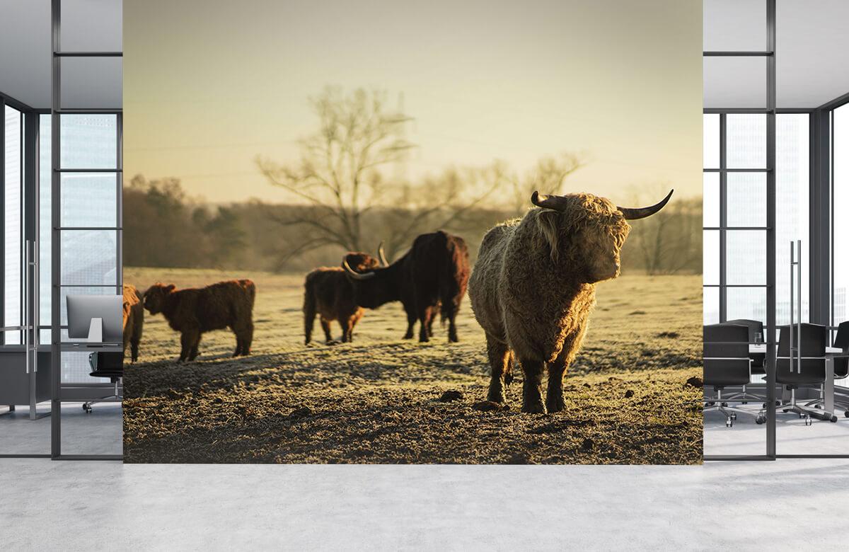 Dieren Schotse hooglander met krullen 1