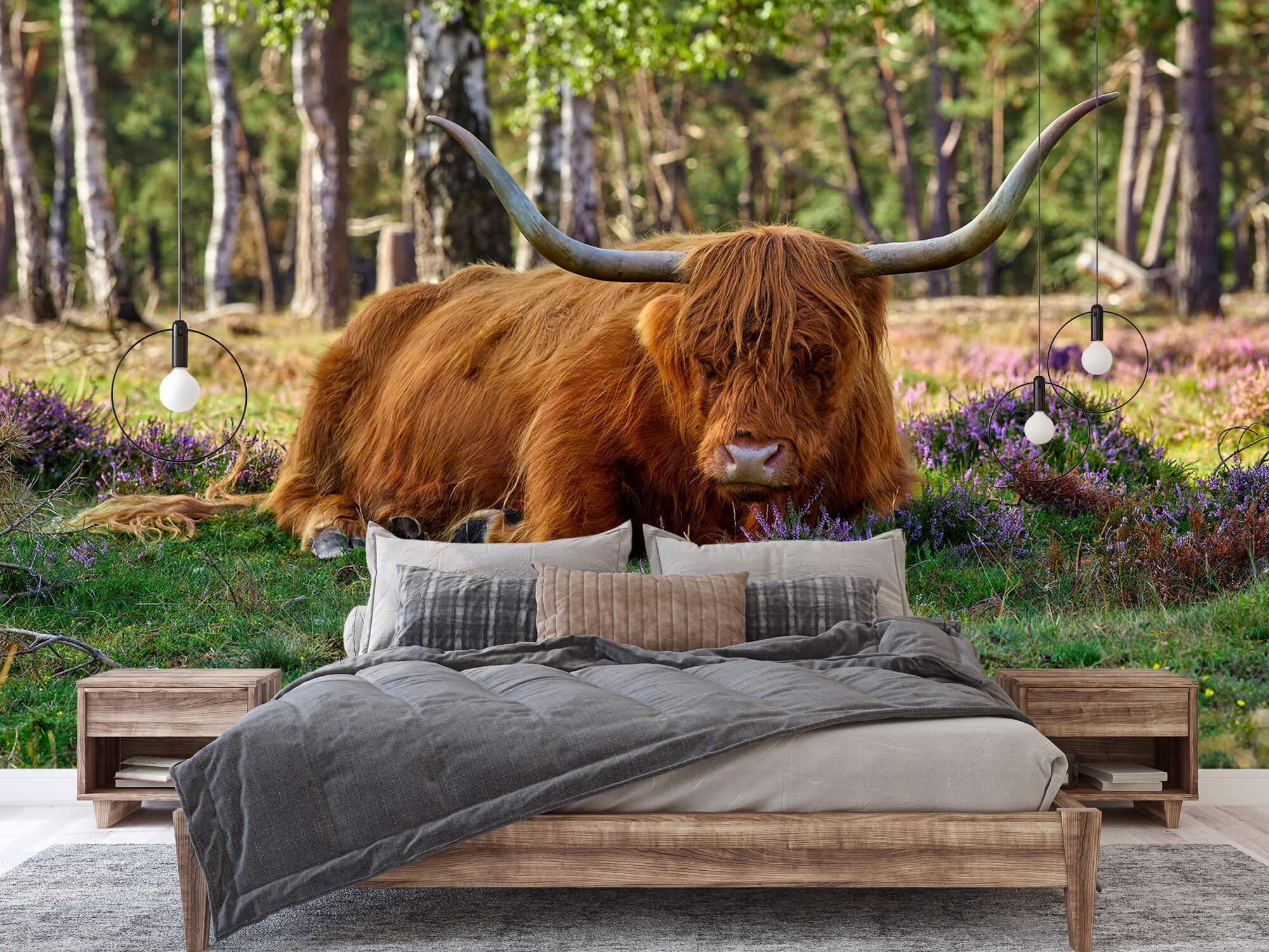 Hooglanders - Rustende Schotse hooglander 2