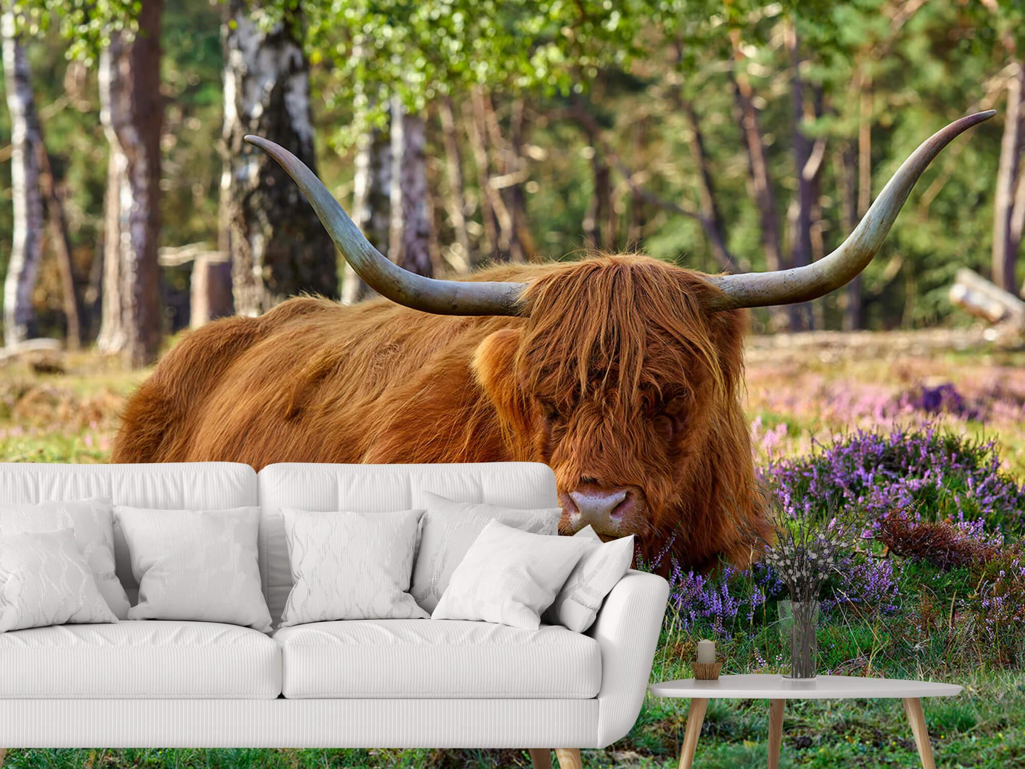 Hooglanders - Rustende Schotse hooglander 3