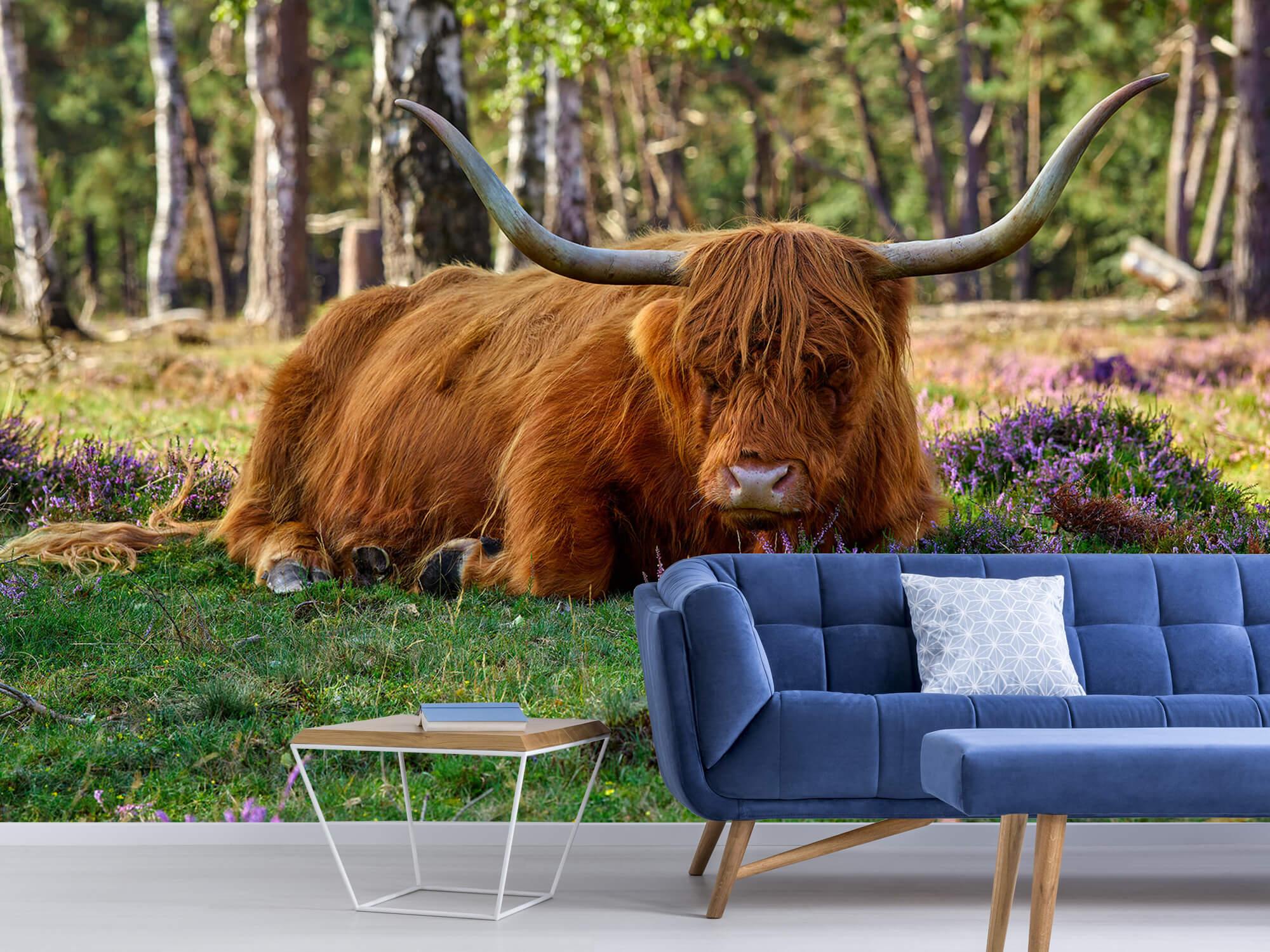 Hooglanders - Rustende Schotse hooglander 5