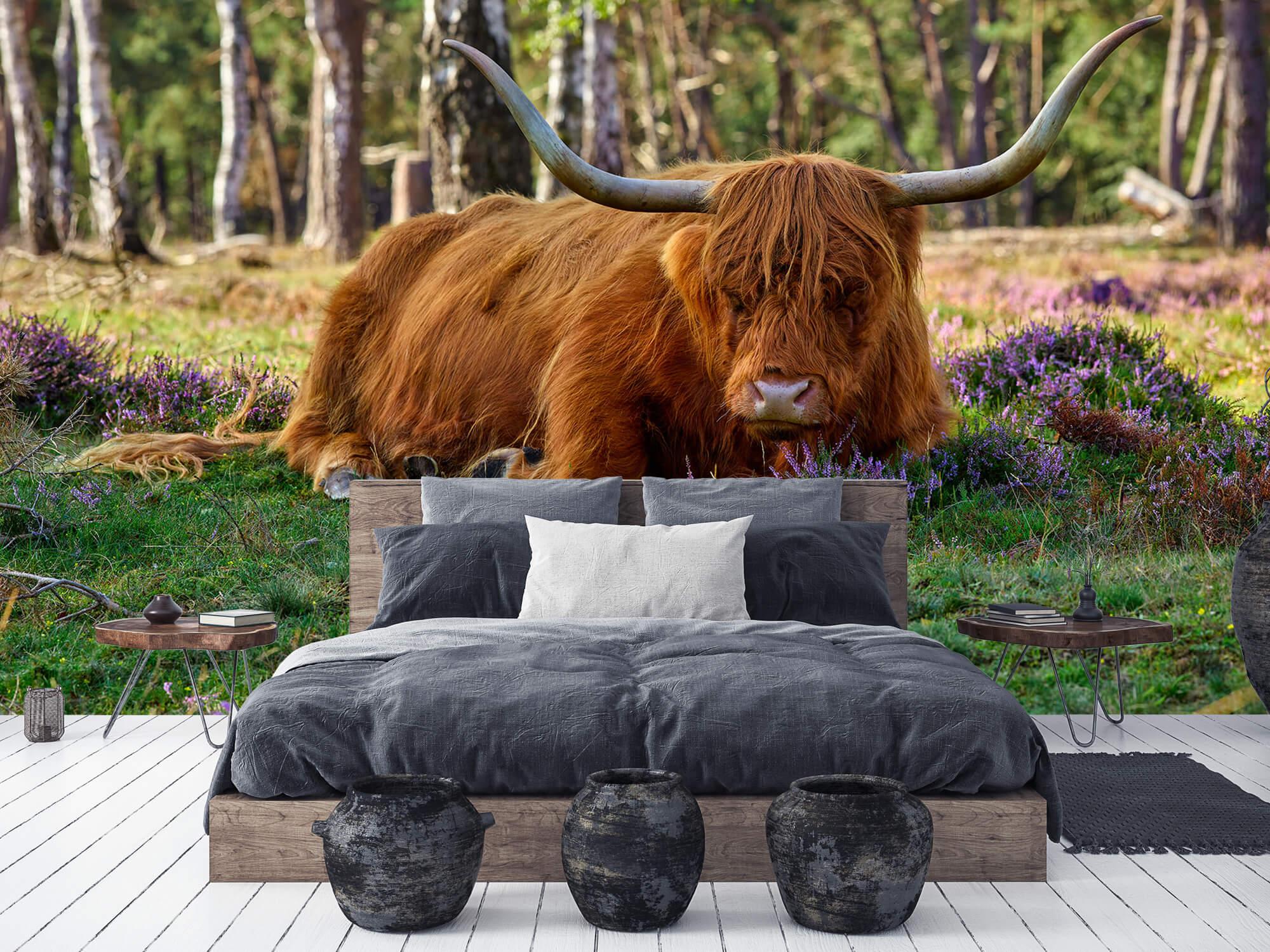 Hooglanders - Rustende Schotse hooglander 6