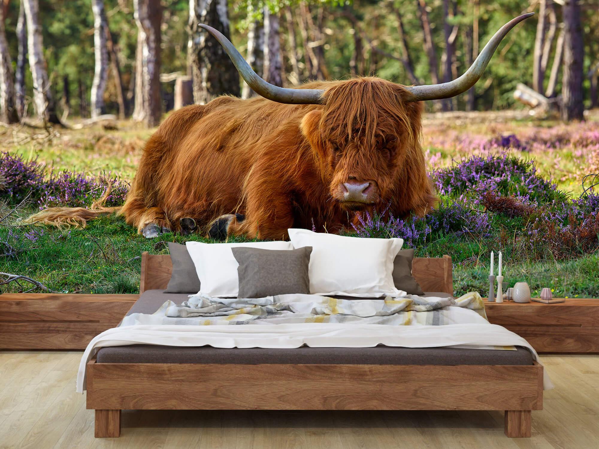 Hooglanders - Rustende Schotse hooglander 1