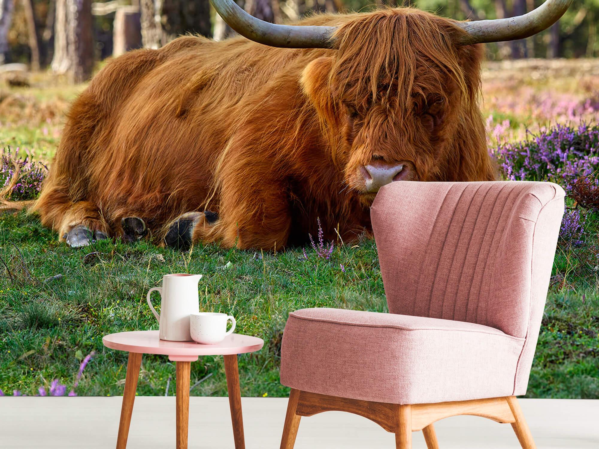 Hooglanders - Rustende Schotse hooglander 8
