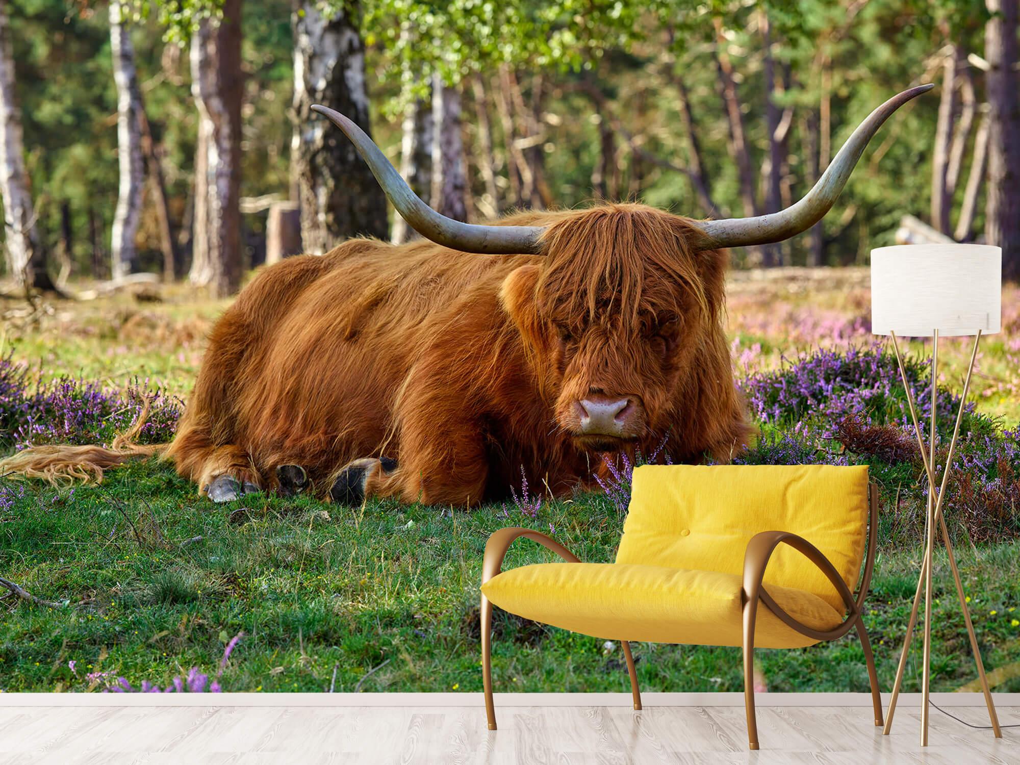 Hooglanders - Rustende Schotse hooglander 10
