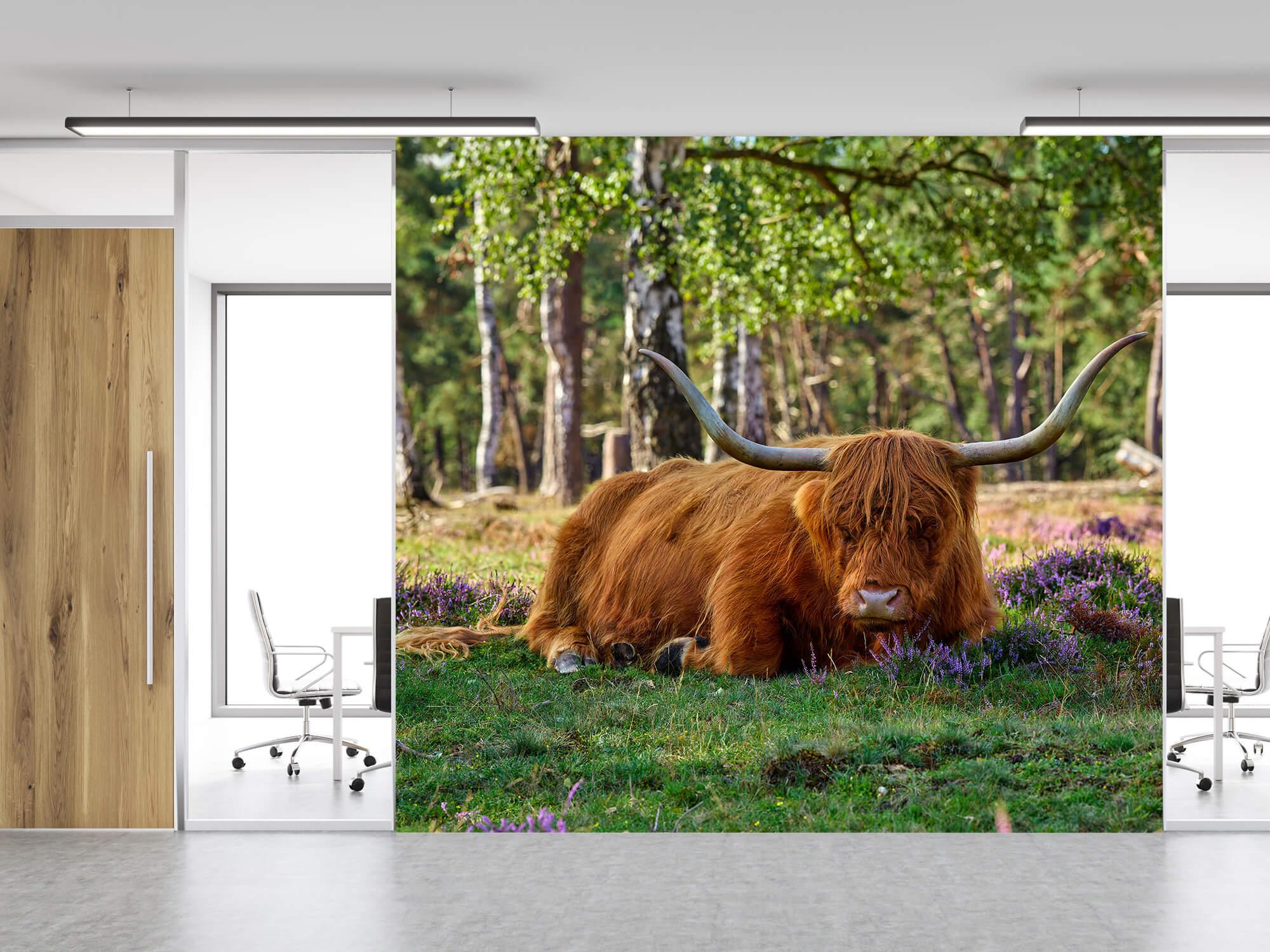 Hooglanders - Rustende Schotse hooglander 11
