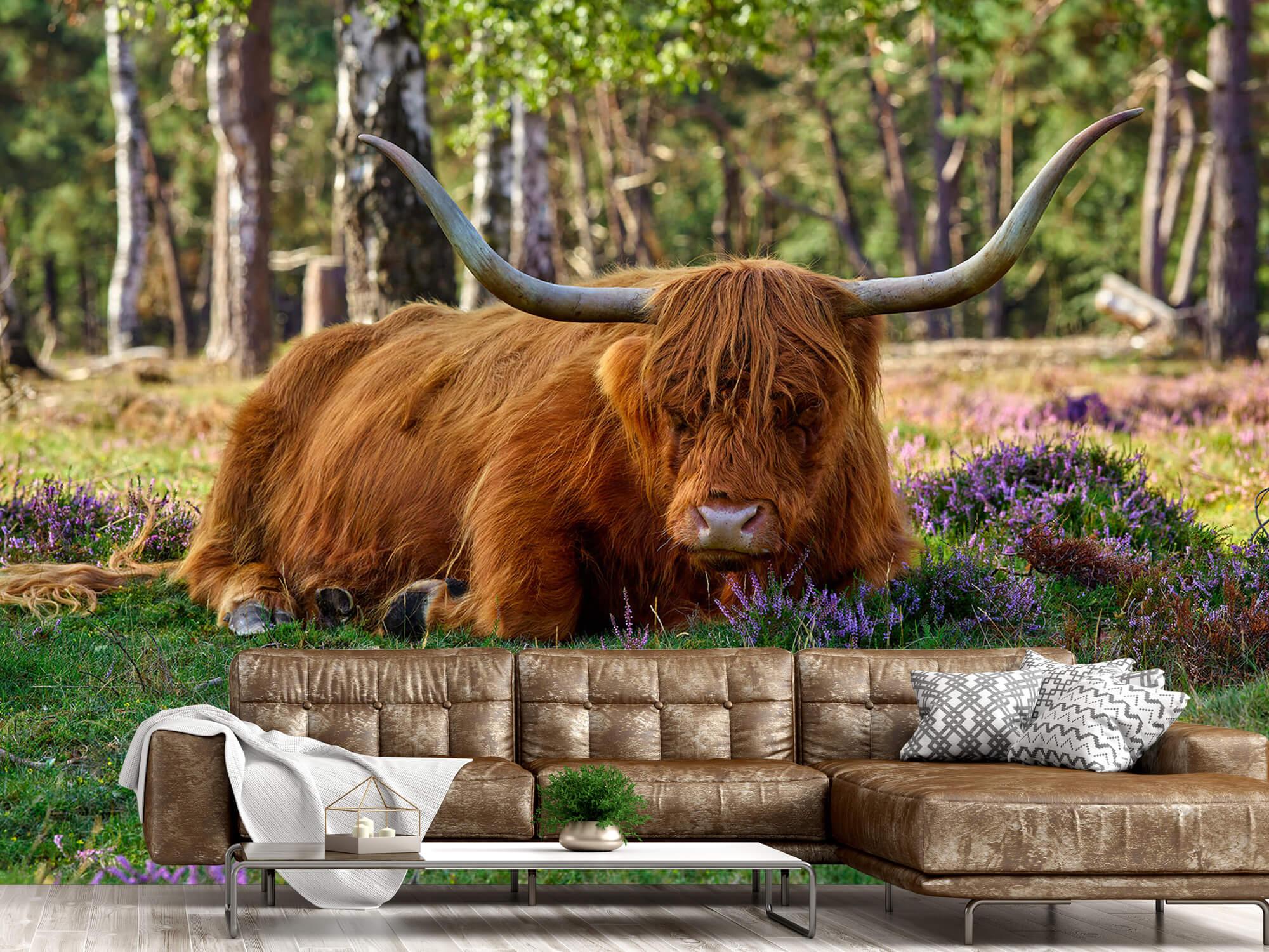 Hooglanders - Rustende Schotse hooglander 14