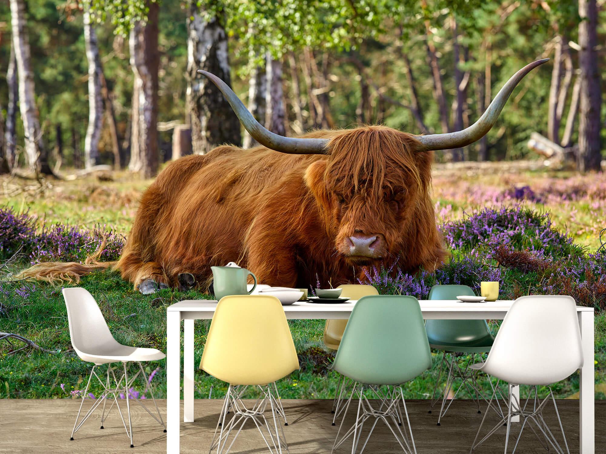 Hooglanders - Rustende Schotse hooglander 15