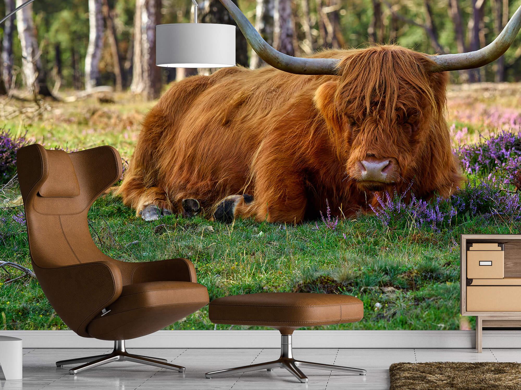 Hooglanders - Rustende Schotse hooglander 19