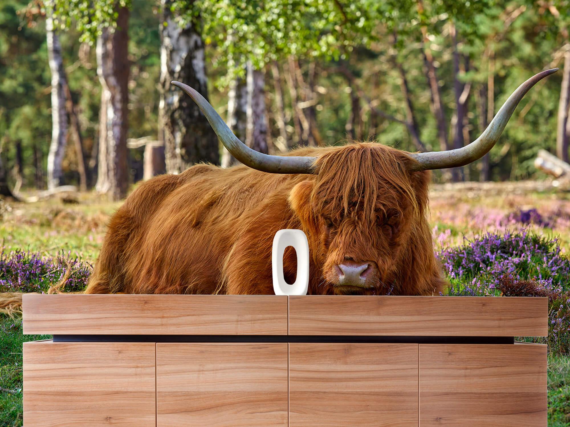 Hooglanders - Rustende Schotse hooglander 20