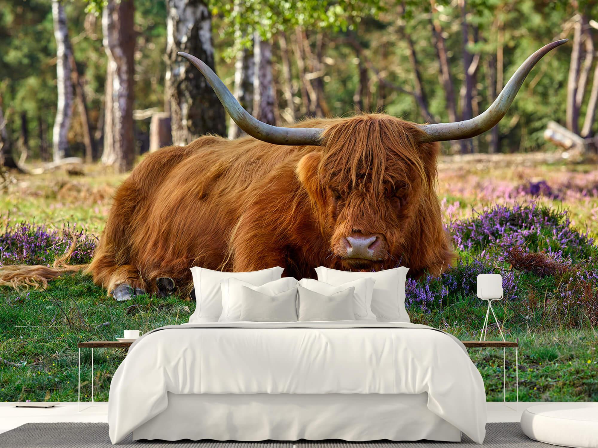Hooglanders - Rustende Schotse hooglander 23