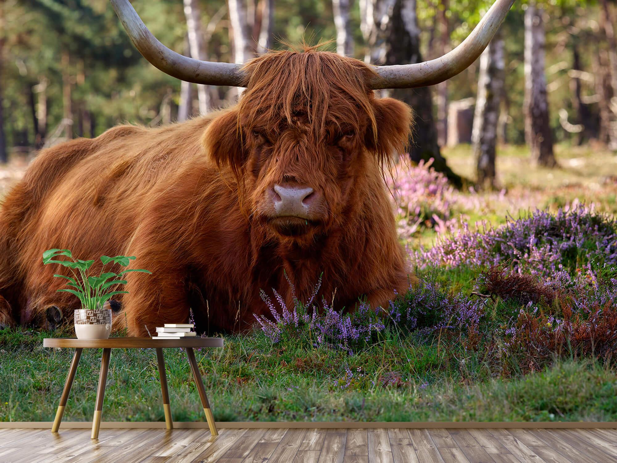 Hooglanders - Liggende Schotse hooglander 3