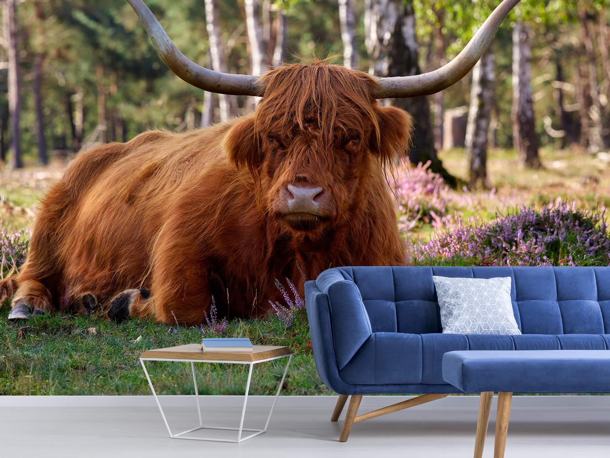 Hooglanders - Liggende Schotse hooglander 4