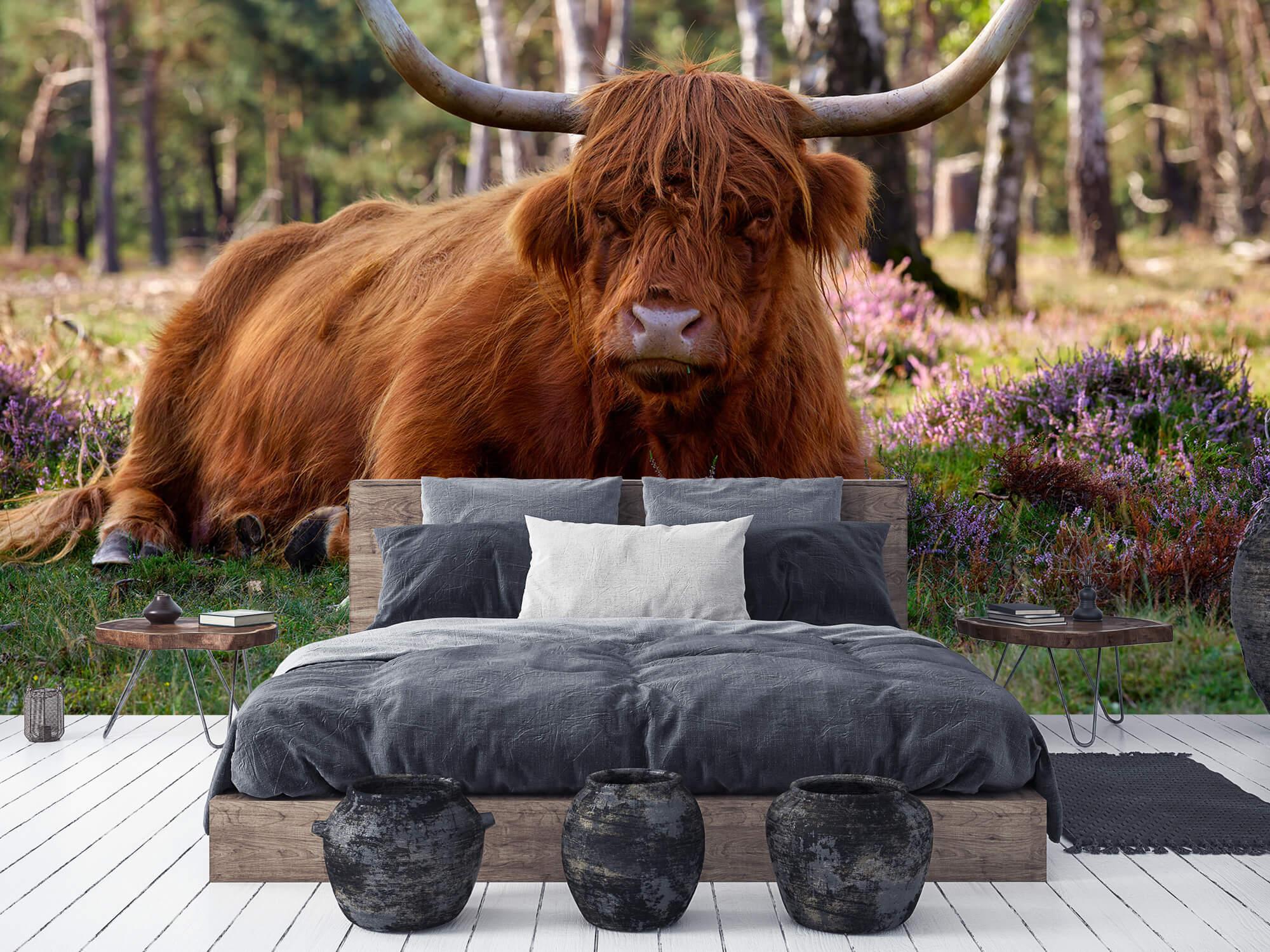 Hooglanders - Liggende Schotse hooglander 5