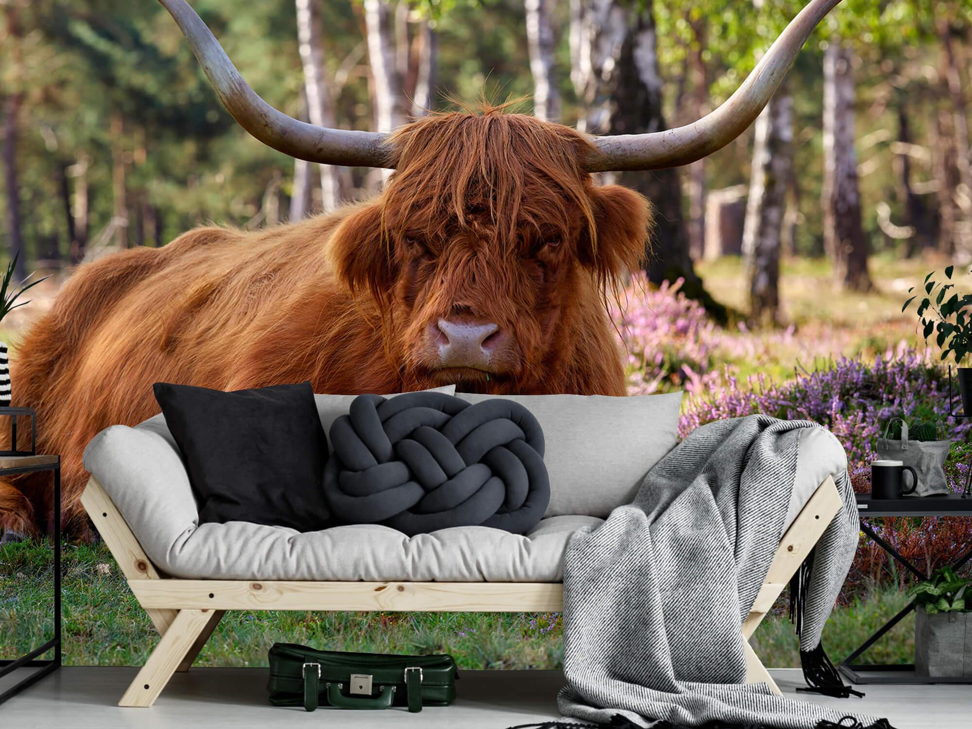 Hooglanders - Liggende Schotse hooglander 6