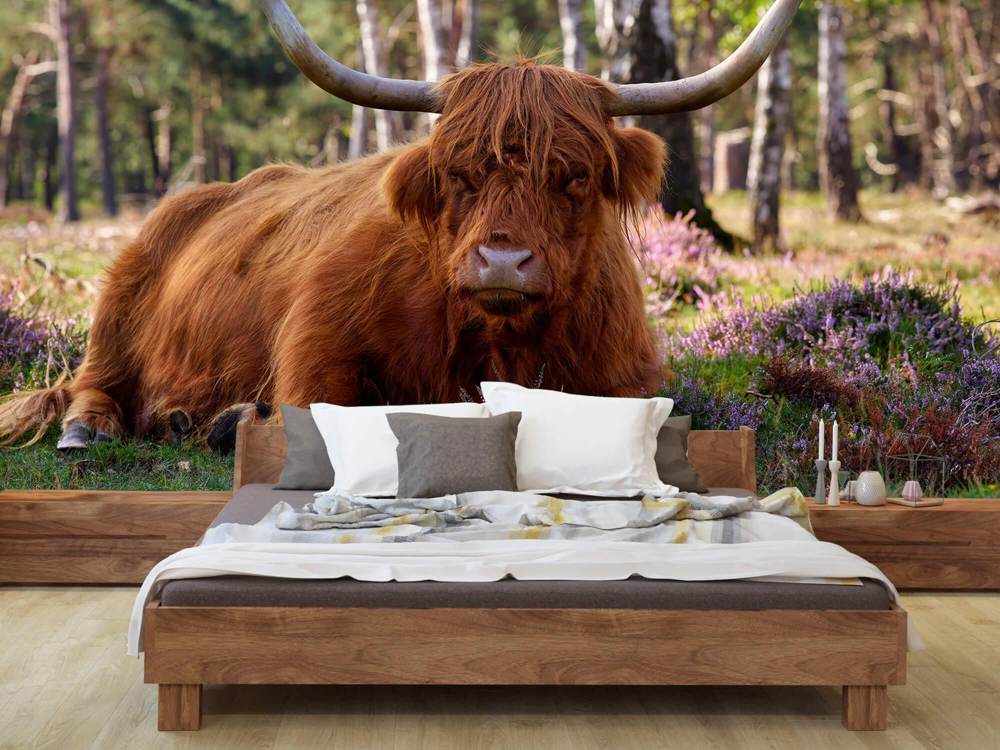 Hooglanders - Liggende Schotse hooglander 7