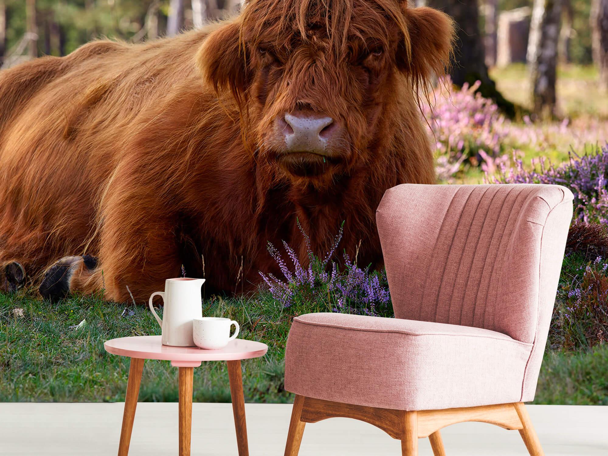Hooglanders - Liggende Schotse hooglander 8