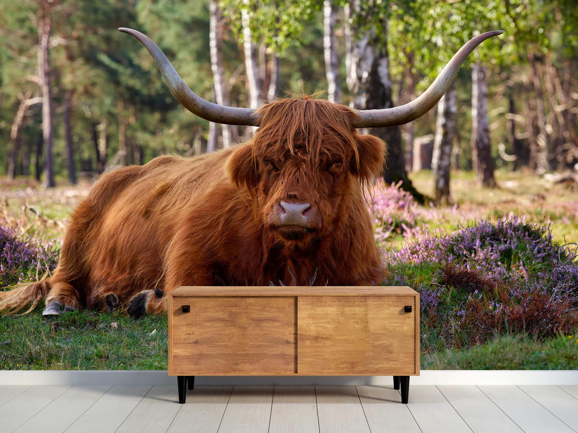 Hooglanders - Liggende Schotse hooglander 9