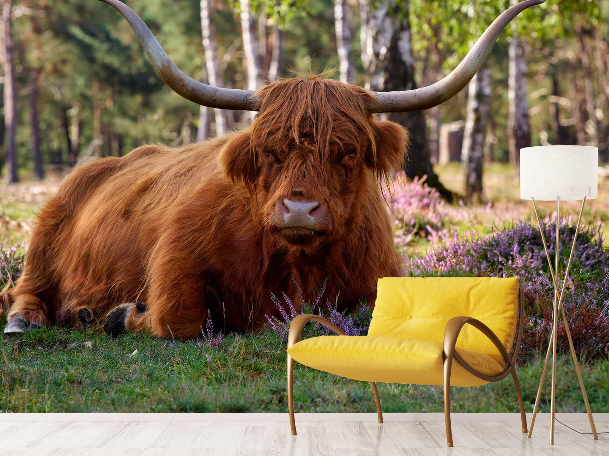 Hooglanders - Liggende Schotse hooglander 10