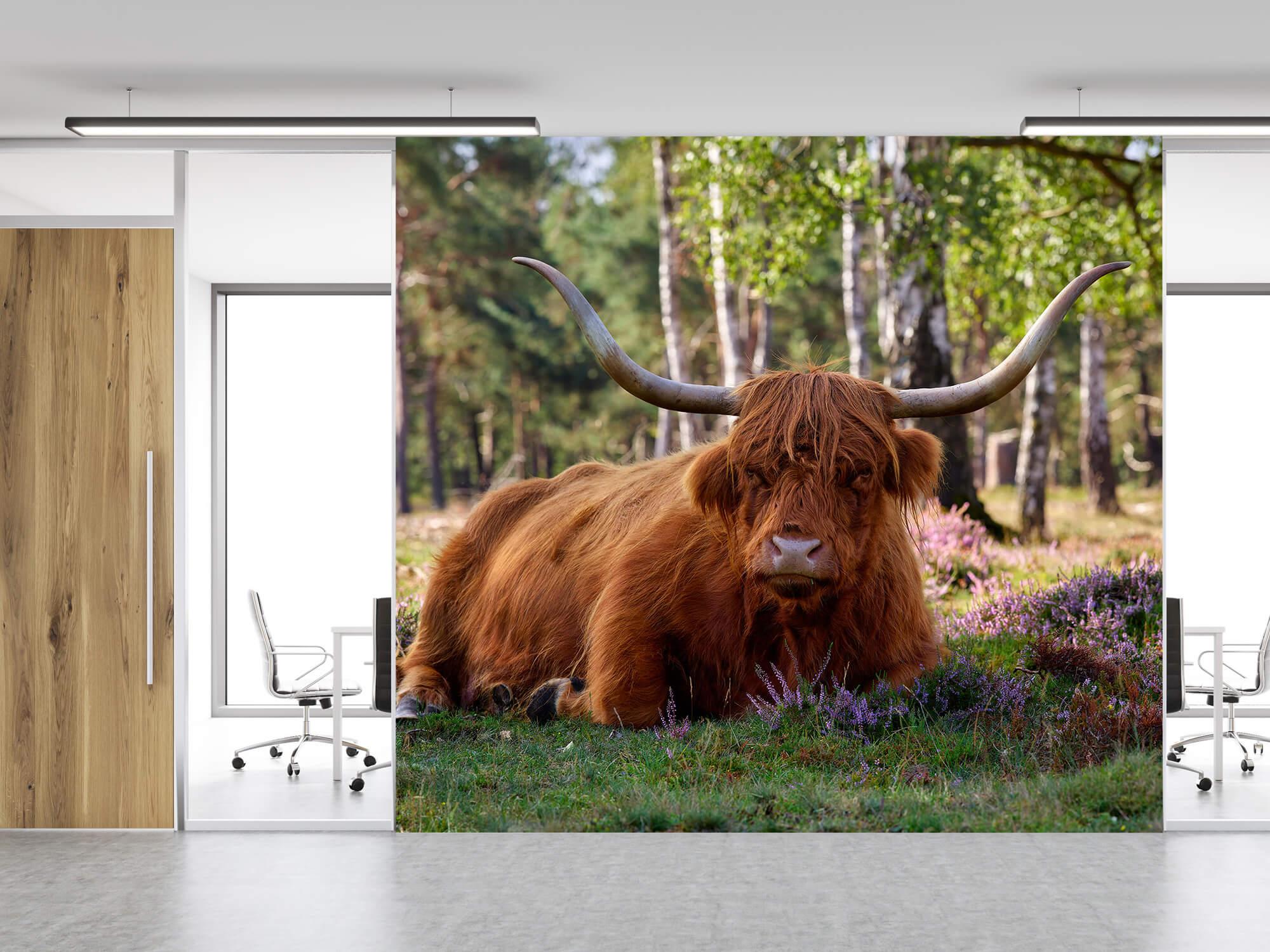 Hooglanders - Liggende Schotse hooglander 11