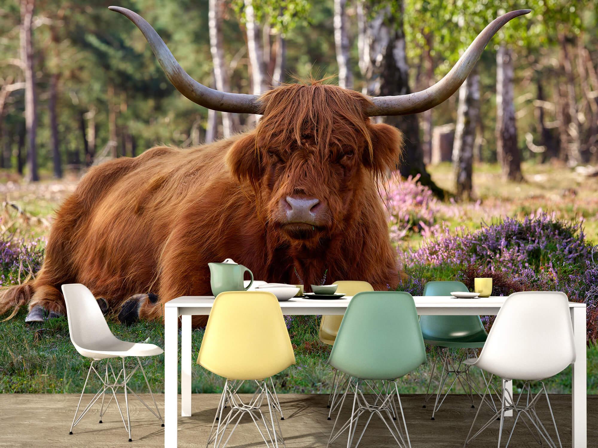 Hooglanders - Liggende Schotse hooglander 15