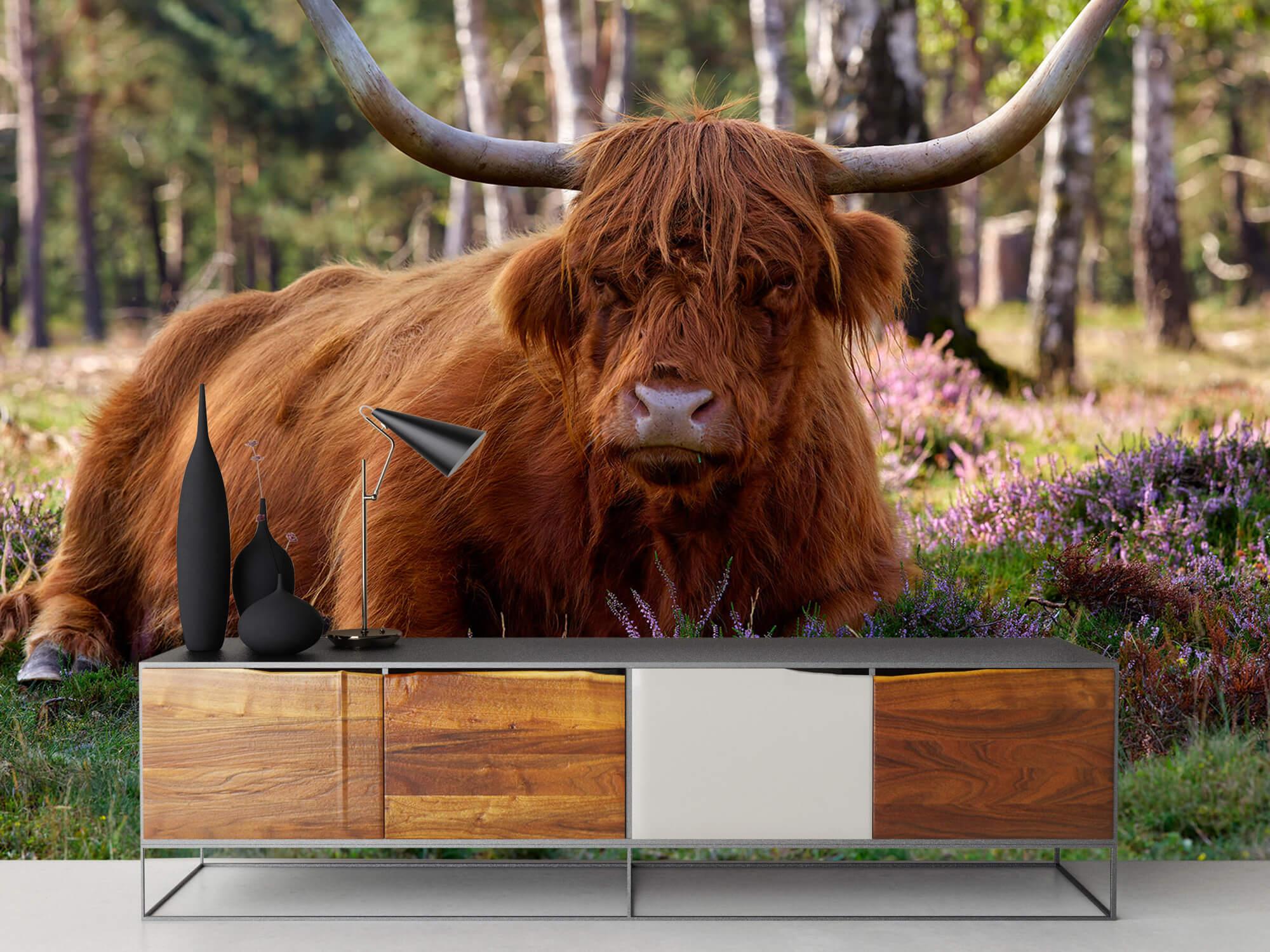 Hooglanders - Liggende Schotse hooglander 16