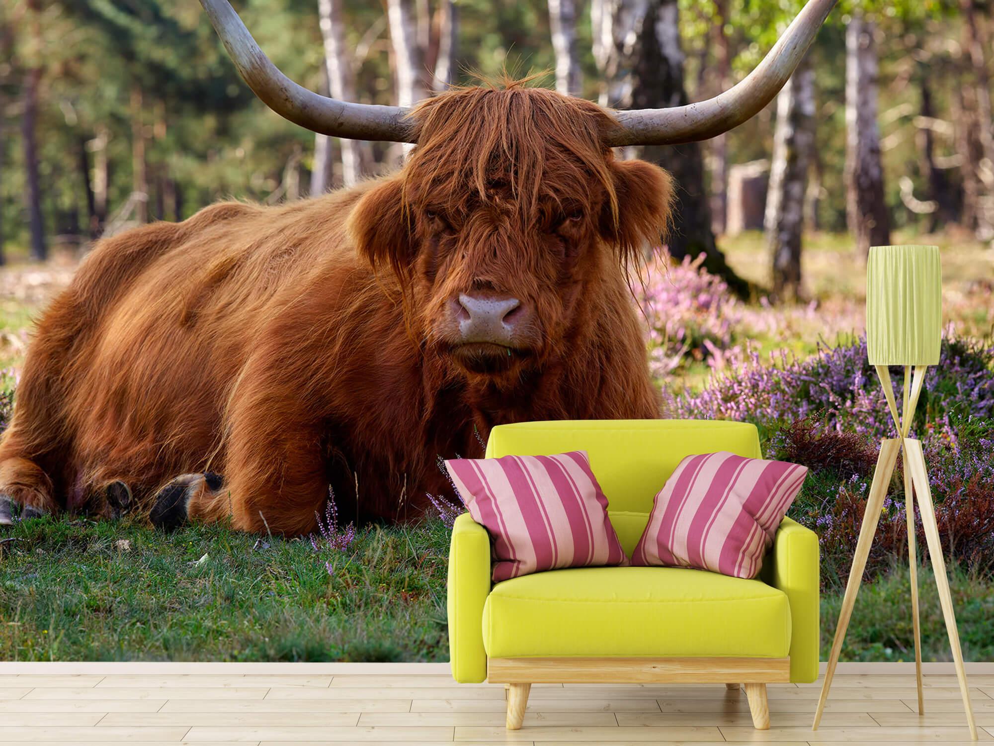 Hooglanders - Liggende Schotse hooglander 17