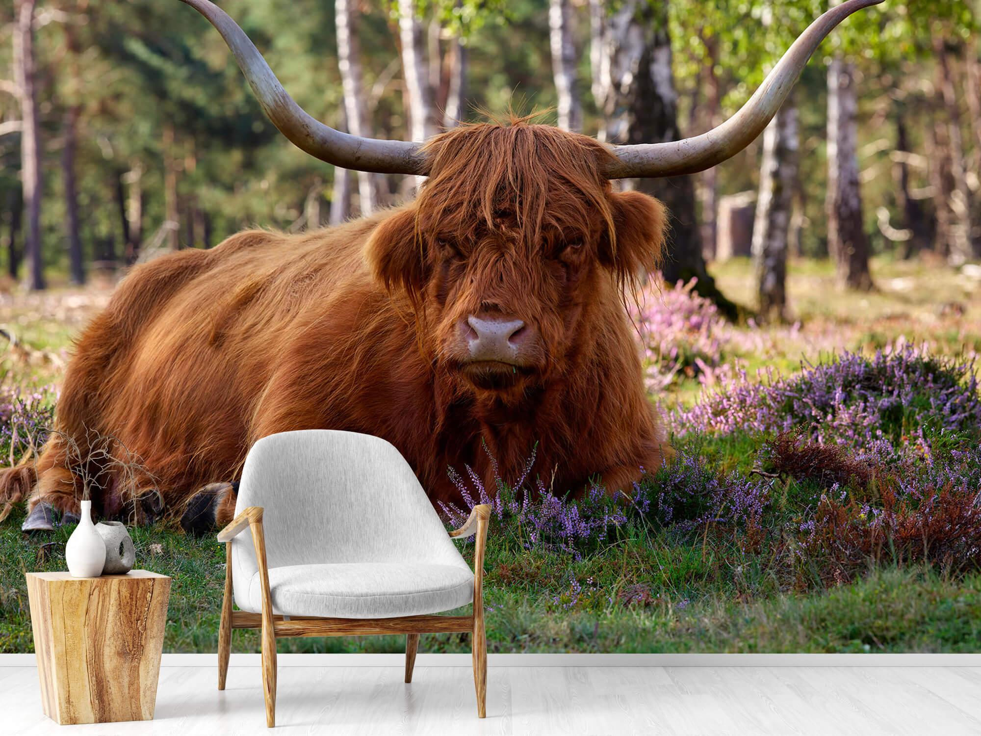Hooglanders - Liggende Schotse hooglander 18