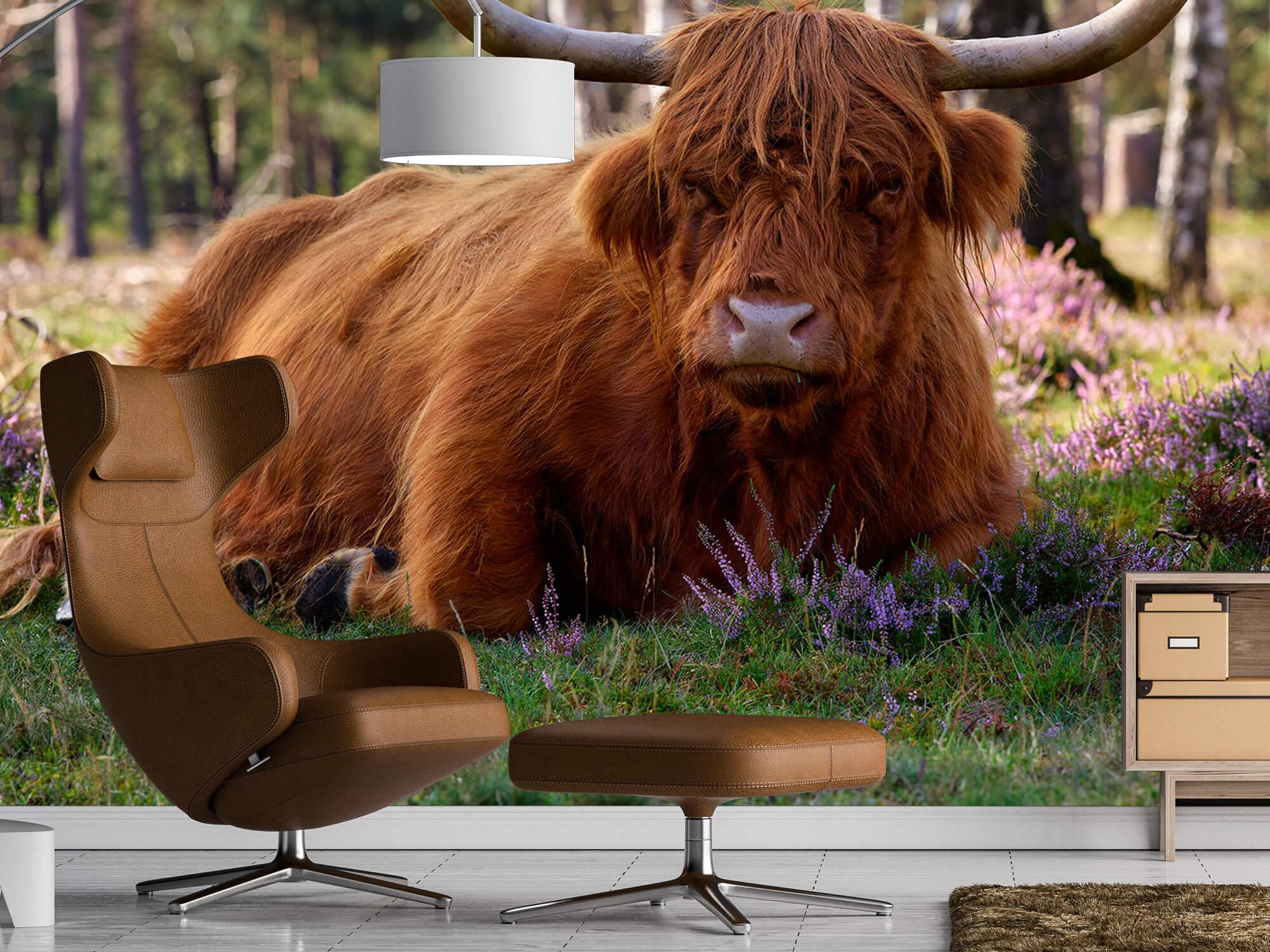 Hooglanders - Liggende Schotse hooglander 19