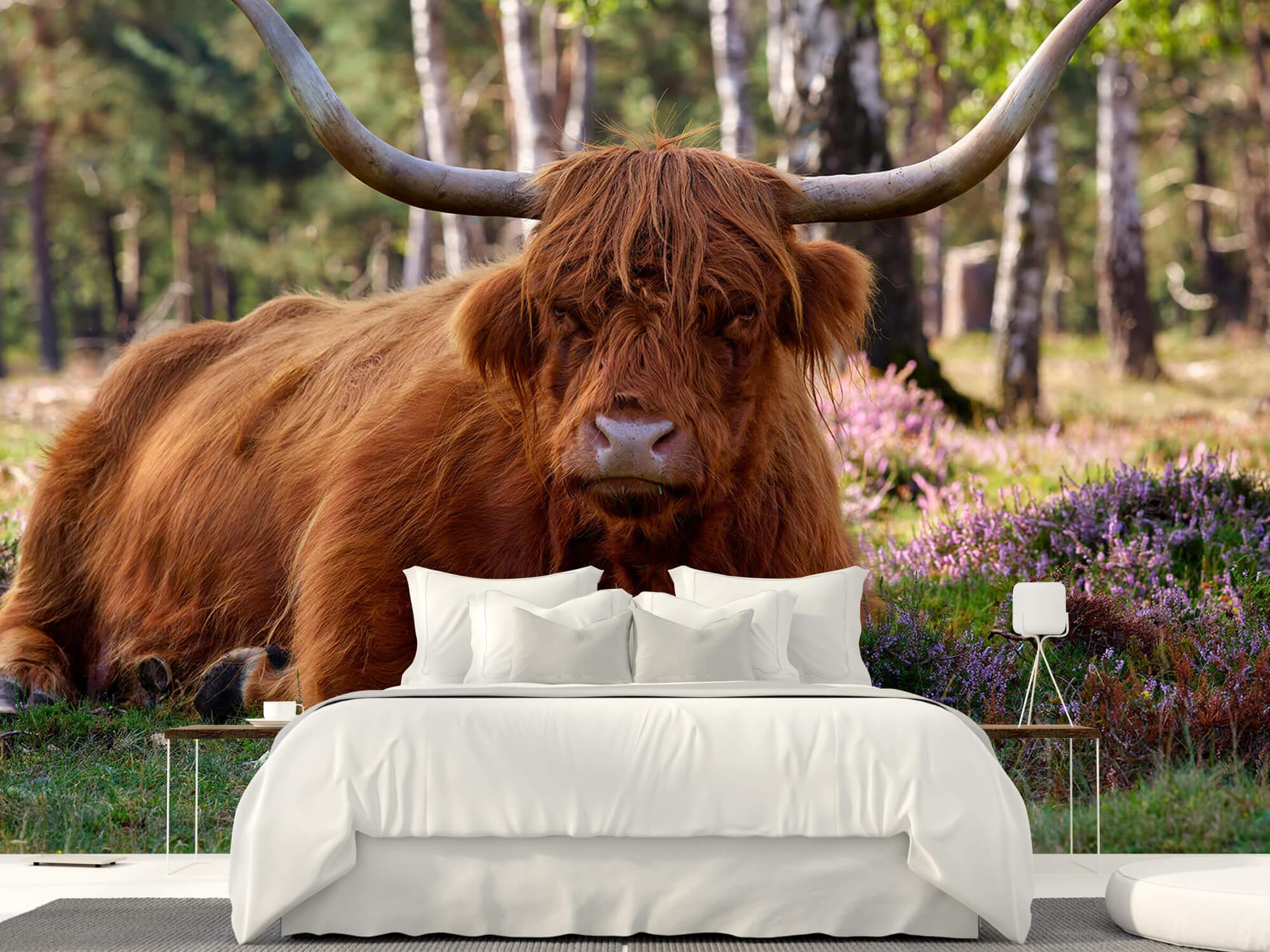 Hooglanders - Liggende Schotse hooglander 23