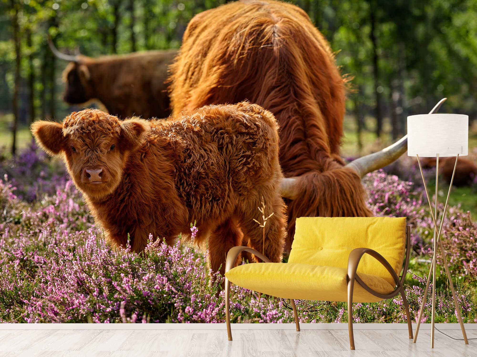 Hooglanders - Familie Schotse hooglanders 11