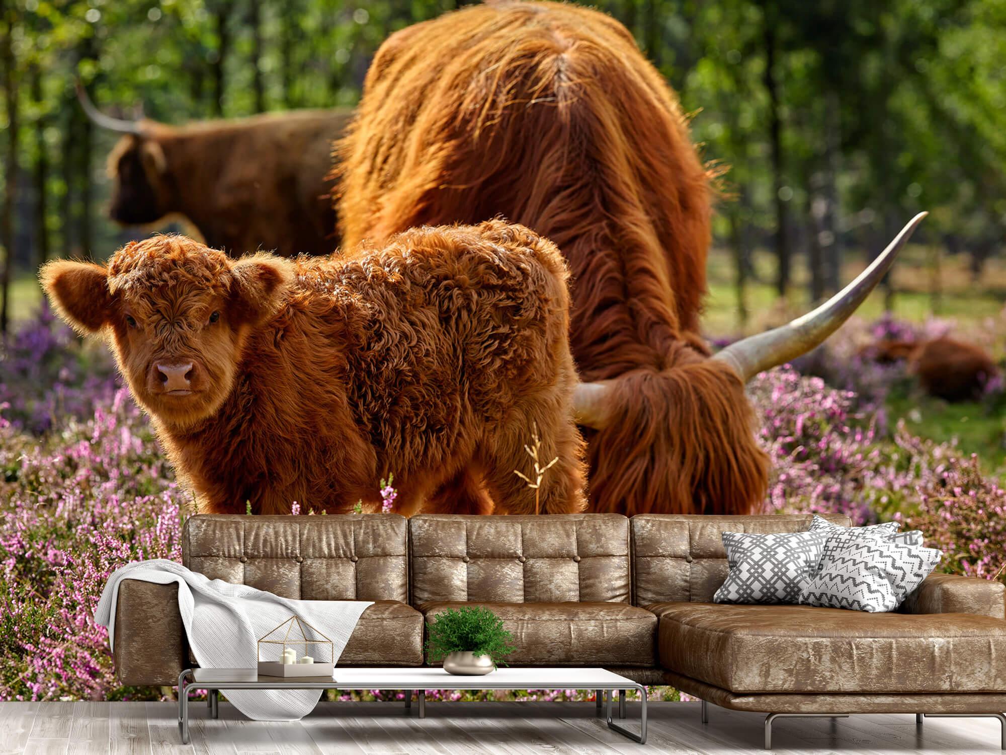 Hooglanders - Familie Schotse hooglanders 15