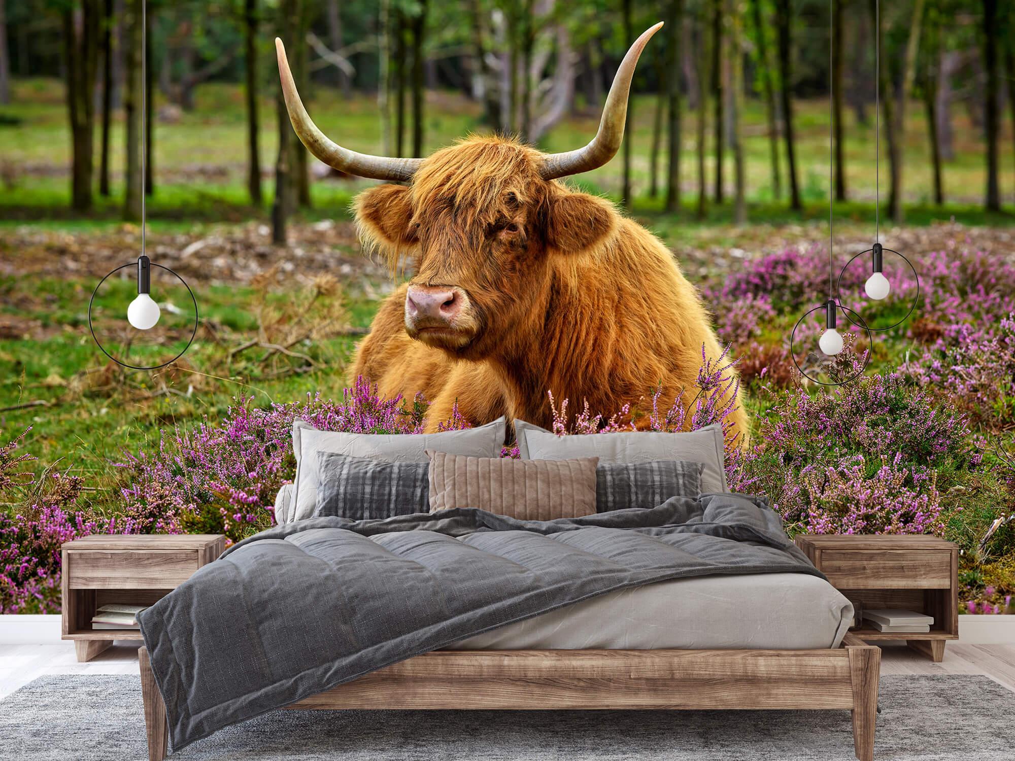 Hooglanders - Schotse hooglander tussen paarse heide 1