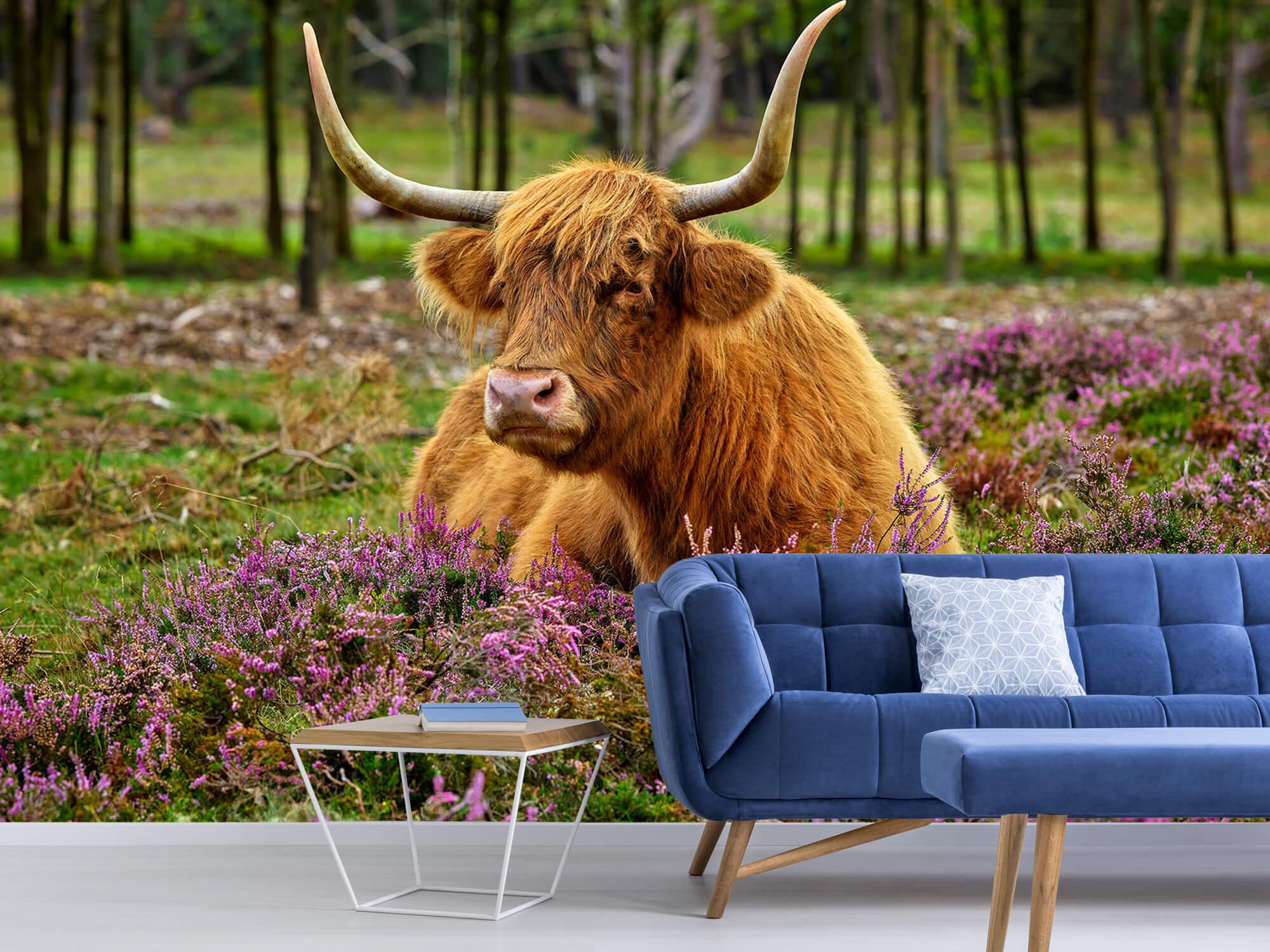 Hooglanders - Schotse hooglander tussen paarse heide 4