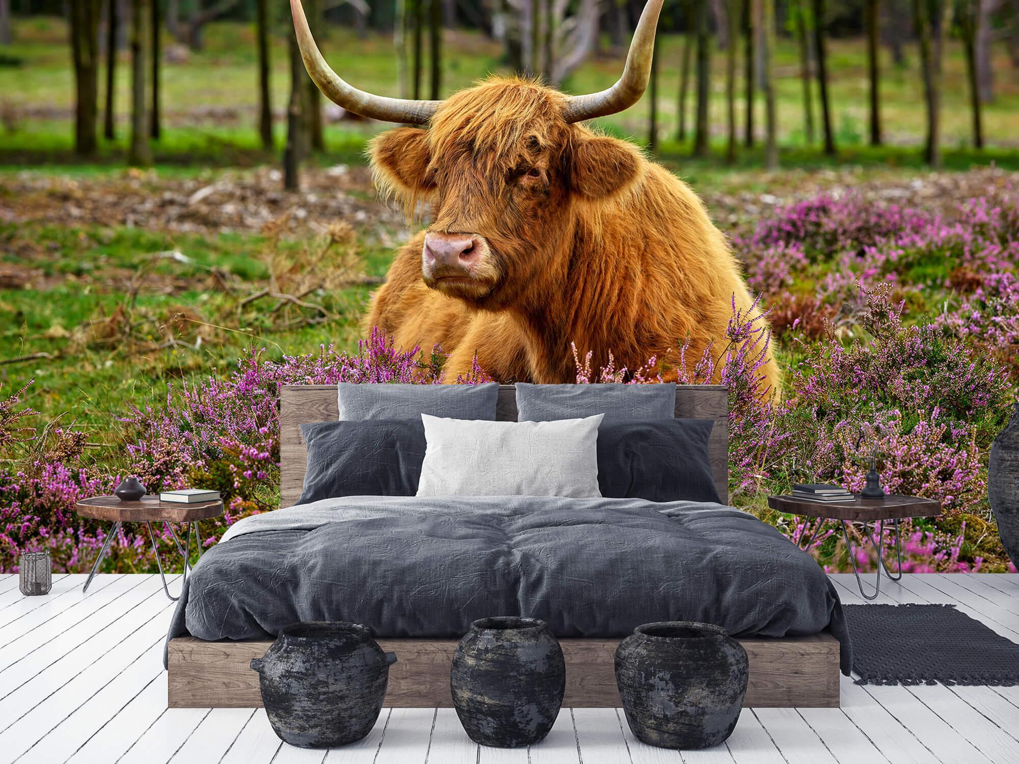Hooglanders - Schotse hooglander tussen paarse heide 5