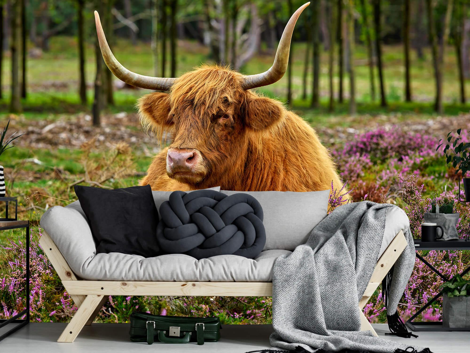 Hooglanders - Schotse hooglander tussen paarse heide 6
