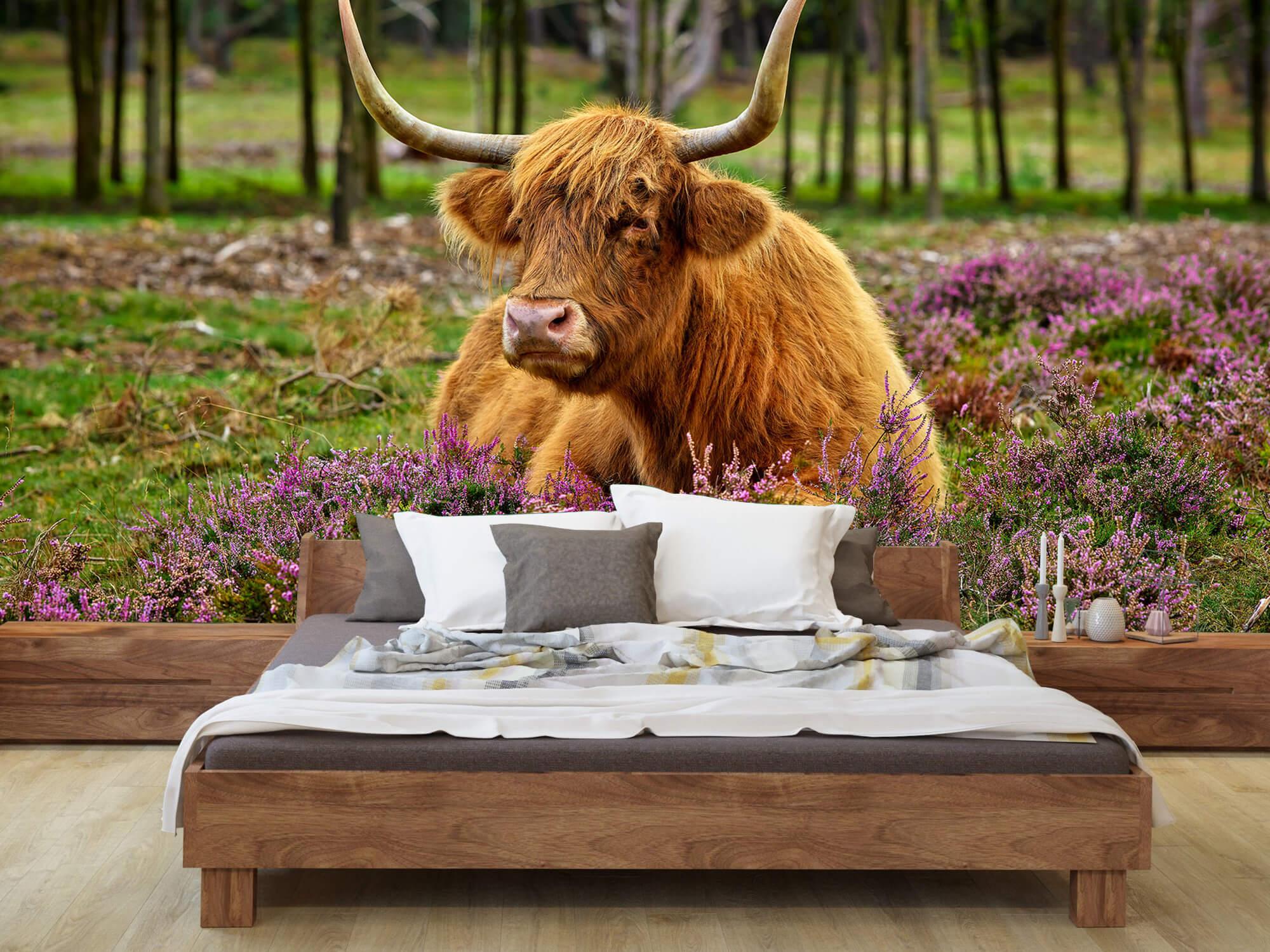 Hooglanders - Schotse hooglander tussen paarse heide 7