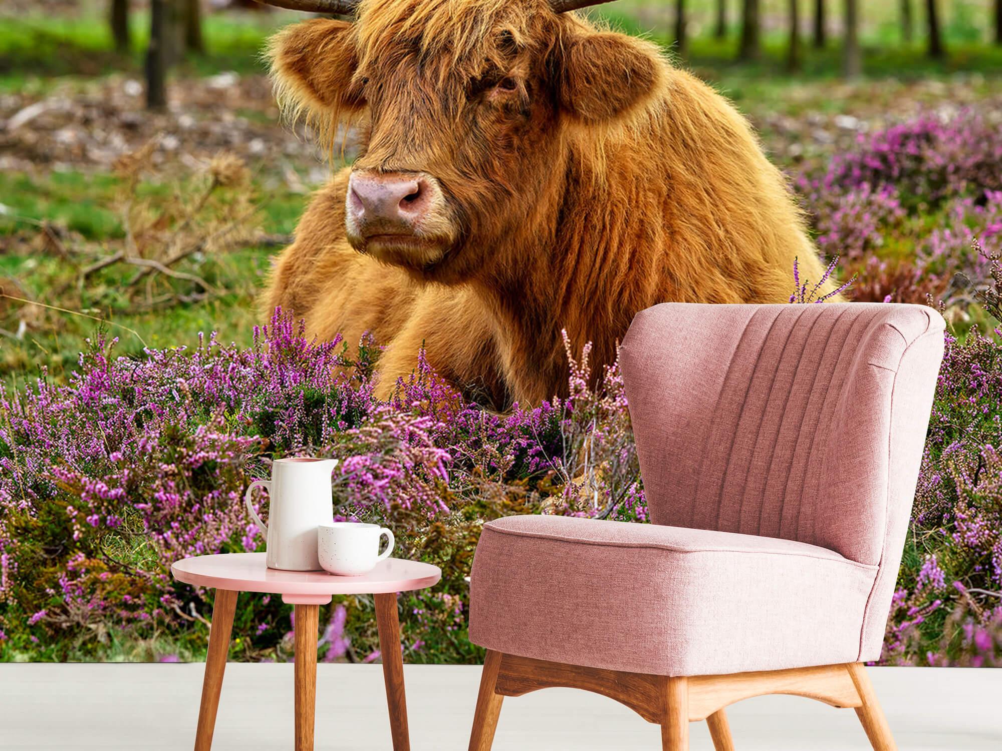 Hooglanders - Schotse hooglander tussen paarse heide 8