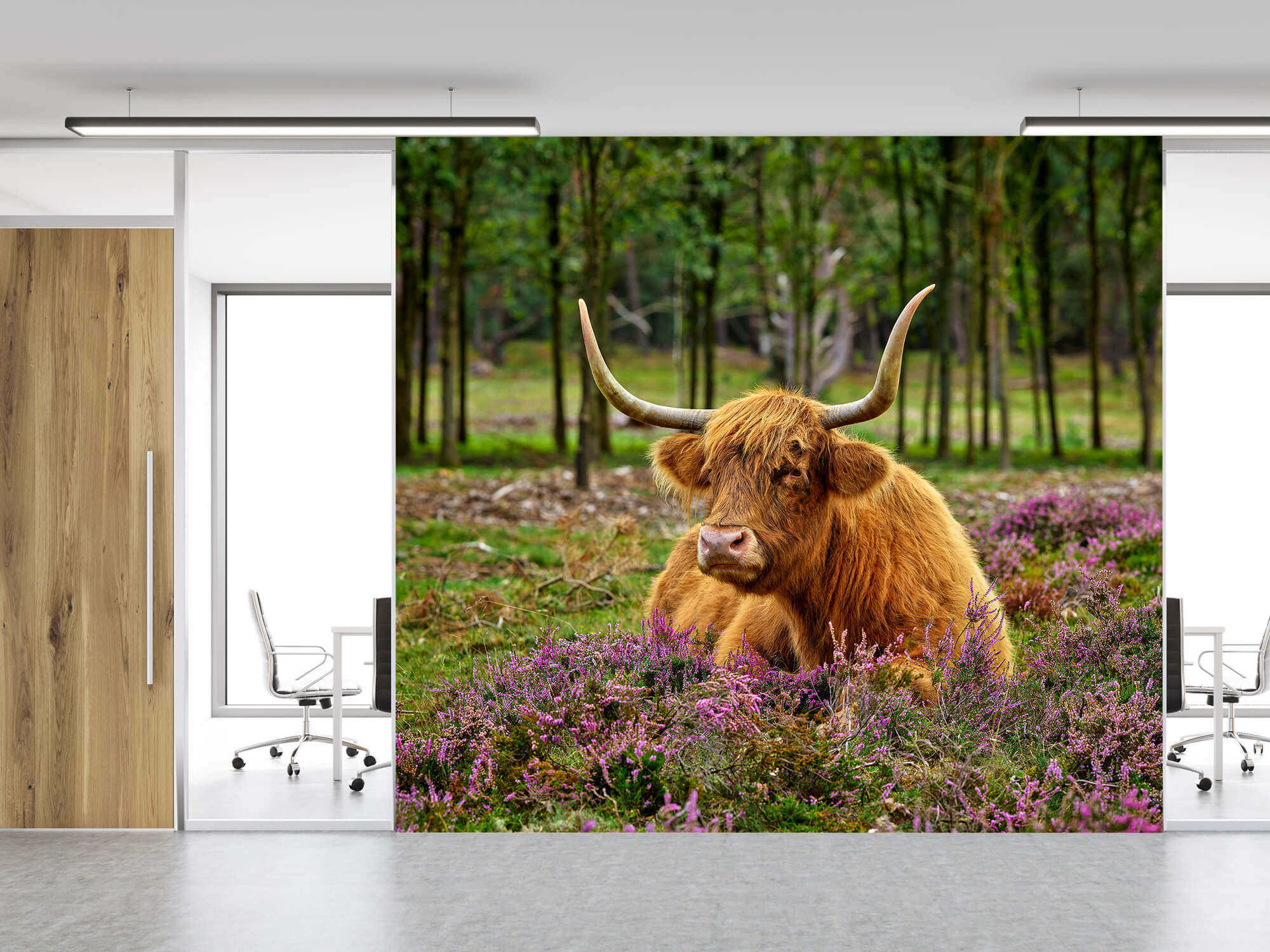 Hooglanders - Schotse hooglander tussen paarse heide 11