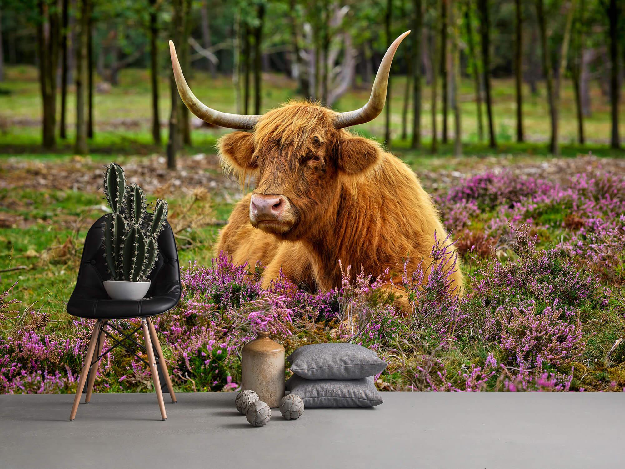 Hooglanders - Schotse hooglander tussen paarse heide 13