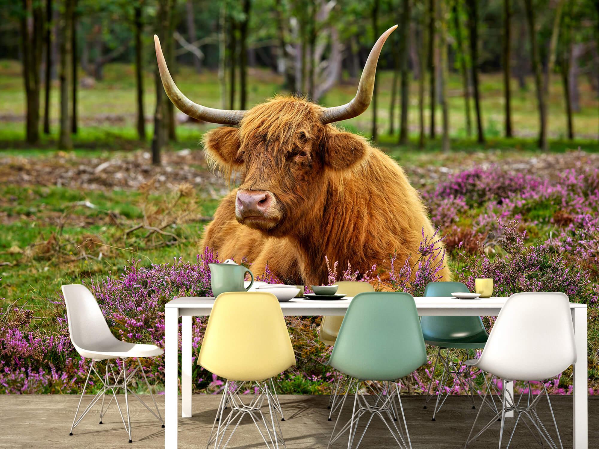 Hooglanders - Schotse hooglander tussen paarse heide 15