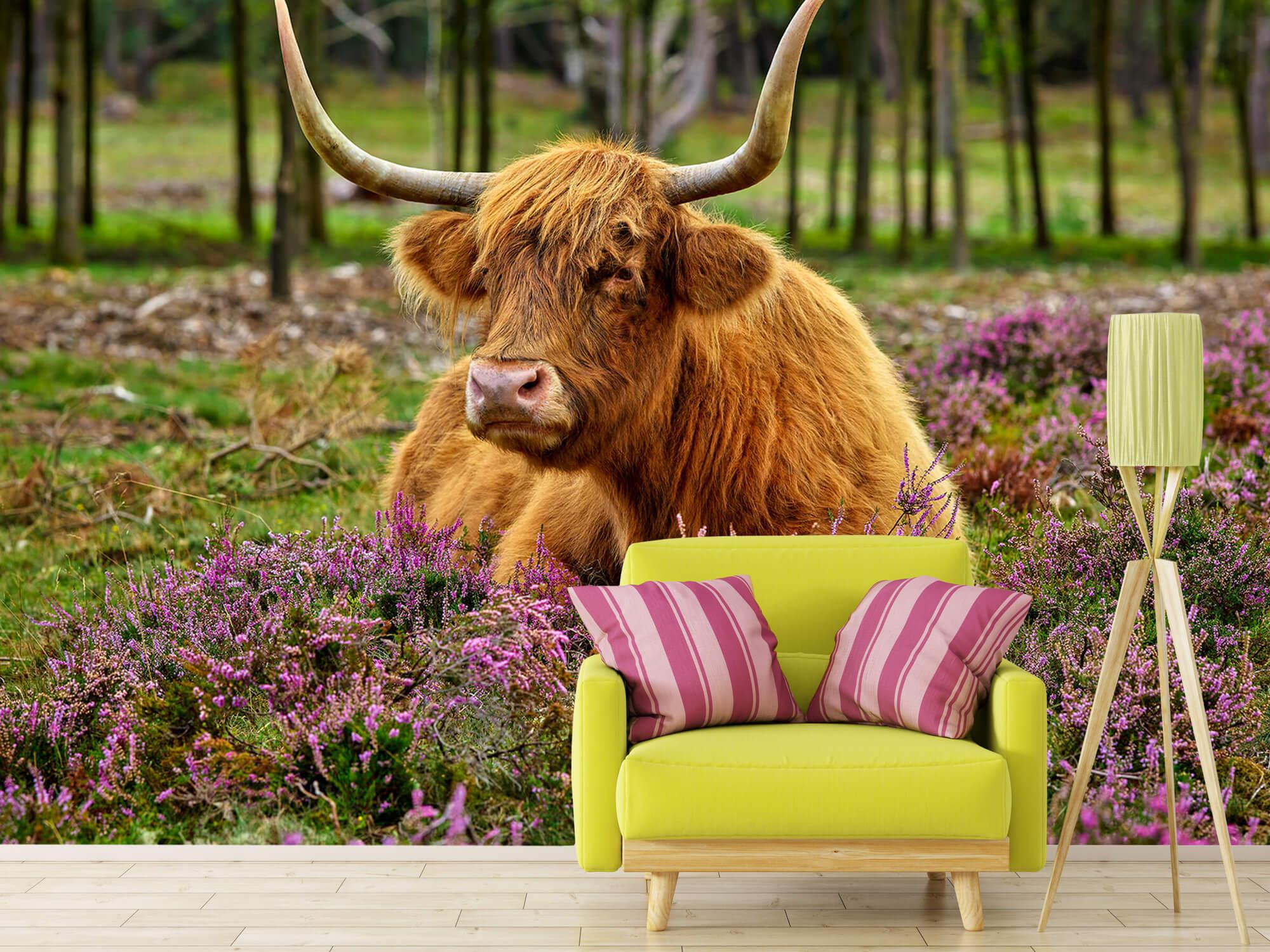 Hooglanders - Schotse hooglander tussen paarse heide 17