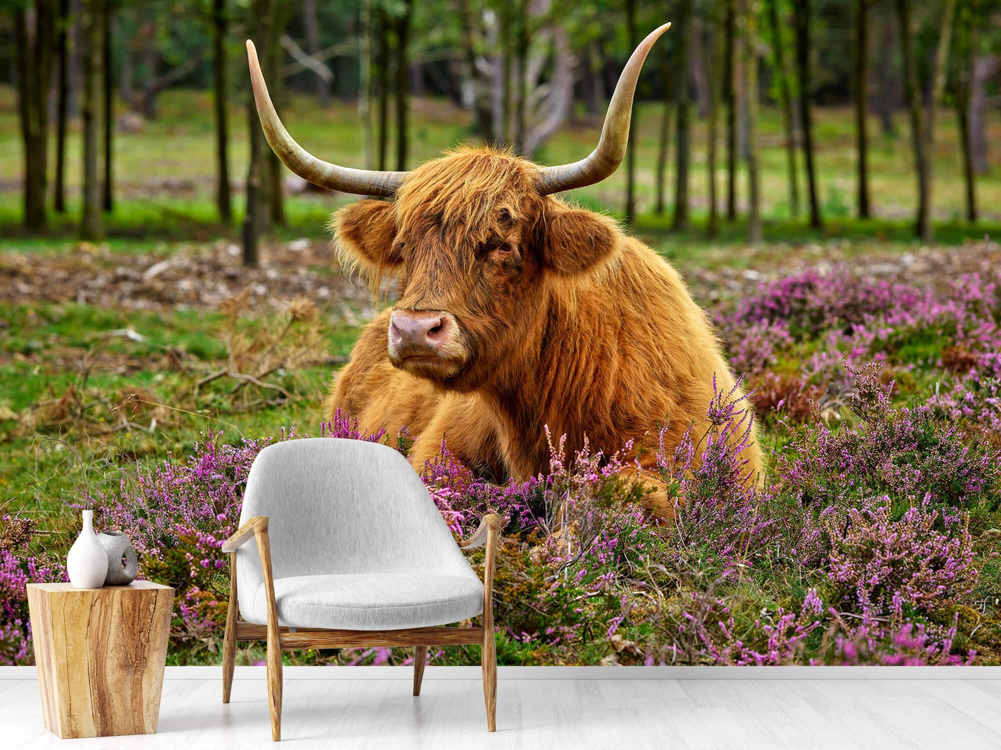 Hooglanders - Schotse hooglander tussen paarse heide 18